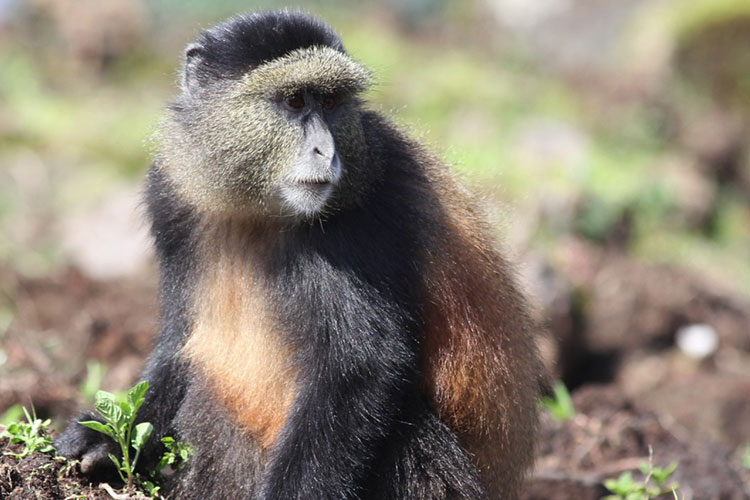 golden monkey tracking, golden monkey trekking, gorilla and golden monkey trek, rwanda golden monkey trekking, uganda golden monkey trekking, uganda golden monkey tracking, golden monkey tracking rwanda, uganda and rwanda golden monkey trekking, rwanda uganda golden monkeys